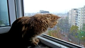 The curious cat. Enjoy the snowy weather, sitting on the windowsill, Kiev, Ukraine stock video footage
