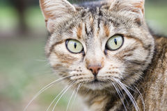Curious cat eyes Royalty Free Stock Images