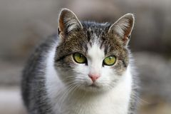 Curious cat head closeup. Curious domestic cat head closeup with short depth of field Royalty Free Stock Images
