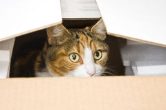 Curious cat hiding in box. Landscape interior Royalty Free Stock Images