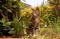 Curious cat. Hiding in the bushes and watching someone Stock Images