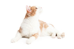 Curious Cat Laying Looking Up Over White Stock Photography