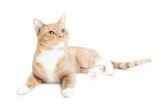 Curious Cat Laying Over White Looking Up Royalty Free Stock Image