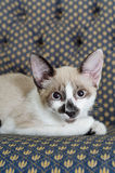 Curious cat. Cat lays on the couch with a curious look on its eyes Stock Image