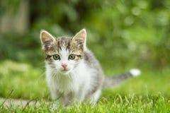 Curious cat Royalty Free Stock Photos