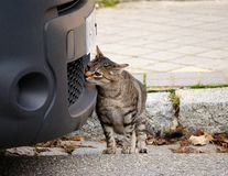 A curious cat is looking for an interesting smell in a car. stock image
