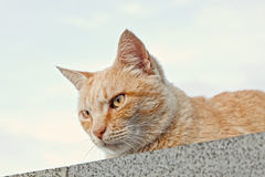 Curious Cat Looking Over a Concrete Fence Stock Photo