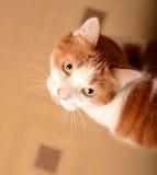 Curious Cat. A curious cat looking up stock photo