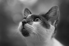 A curious cat is looking up in black and white picture. A curious cat is looking up watching something moving and making noise Royalty Free Stock Photography