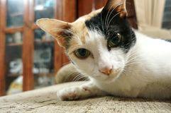 A face of a curious cat. A curious cat, lying on a sofa looking at a camera royalty free stock image