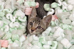 Curious cat in plastic foam Royalty Free Stock Photography