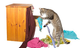 Curious cat rummaging in a drawer. Curious tabby cat standing on its hind legs rummaging in a chest of drawers with clothing strewn around on the floor in Royalty Free Stock Image