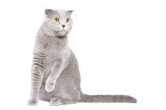 Curious cat Scottish Fold Stock Photos