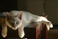 Beautiful Lilac Point Siamese Cat Stock Image