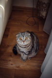 Curious cat sitting on the floor and looking into the lens. Photo Royalty Free Stock Photos