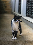 Curious cat standing Royalty Free Stock Images
