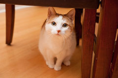 Curious cat under chair. Curious and cute white and orange cat sits underneath the furniture royalty free stock photography