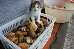 Curious cat in white basket full of mushrooms 20201 Royalty Free Stock Photo