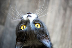 Curious cat with yellow eyes. Watches Stock Image