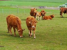 Curious cattle at a farm Stock Photography