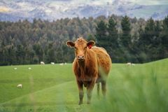 Curious cattle. In New Zealand`s Miller;s Flat Stock Photos