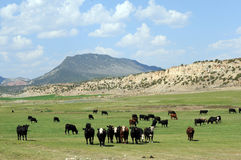 Curious cattle Utah. Row of cattle in green field set against mountains stock images