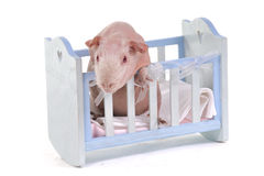 Curious Cavy in a baby cot Royalty Free Stock Photo