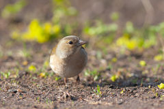 Curious chaffinch Stock Photo