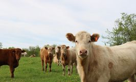 Beige colored calf close-up with other steers behind in the field. Curious Charolais steer looking at camera with herd in behind on pasture royalty free stock photography