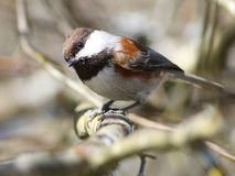 Curious Chestnut-backed Chickadee Royalty Free Stock Image
