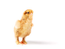 Curious chick Royalty Free Stock Images