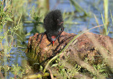 Curious chick of moorhen royalty free stock photography