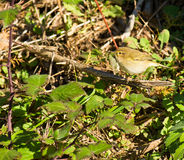 A curious Chiffchaff Royalty Free Stock Photo