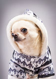 Curious chihuahua Royalty Free Stock Photography