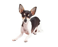 Curious Chihuahua Dog Laying Royalty Free Stock Photo