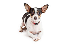 Curious Chihuahua Dog Laying With Outstretched Paws Royalty Free Stock Image