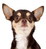 Curious chihuahua dog. Portrait over white background royalty free stock photo