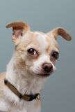 Curious Chihuahua with Perked Ears. Blonde chihuahua gives an inquisitive eye Stock Image