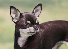 Curious chihuahua Stock Images