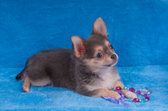 Curious Chihuahua puppy lying on blue sofa Royalty Free Stock Images