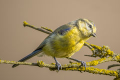 Curious child blue tit with yellow feathers on branch with yellow lichen Royalty Free Stock Photo