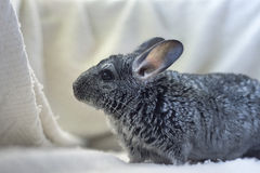 Curious chinchilla. On a white background Stock Images