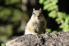 Curious Chipmunk Royalty Free Stock Photo