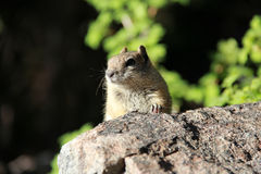 Curious Chipmunk Stock Photography