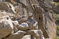 A curious chipmunk standing on the rocks Royalty Free Stock Photo
