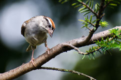 Curious Chipping Sparrow Perched on a Branch Stock Image