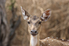Curious Chital. Portrait of a curious chital Royalty Free Stock Image