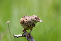 Curious cisticola. A curous cisticola looking straight at you Royalty Free Stock Images