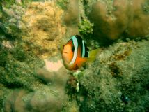 Clownfish Amphirion at a reef in the indian ocean stock images