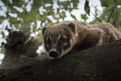 Curious coati peers over treetop perch. A soft, light image of a coati looking down at her surroundings below. Curious, but also cautious, remaining in the Royalty Free Stock Photography